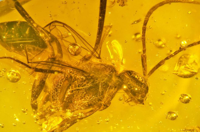 wasp in amber